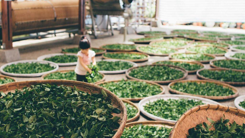 trà alishan, nguồn gốc ly trà sữa